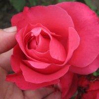 Мой сад - малиновый щербет. :: Tatyana Kuchina