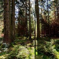 Солнечный лес ... :: Владимир Икомацких
