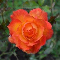 Цветы в октябре :: Наталья Тагирова