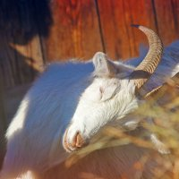 Радостная коза :: ann nickolskaya