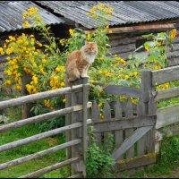 На заборе сидит кот... :: Виталий Внимательный.