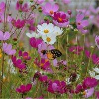 Космея и ...бабочка :: Anatol Livtsov