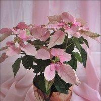 Моё розовое чудо - пуансетия :: Нина Корешкова