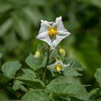 Самый распространённый цветок России. :: Анатолий. Chesnavik.