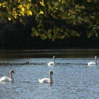 Белые лебеди :: Вера Моисеева