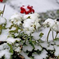 первый снег белая герань :: petyxov петухов