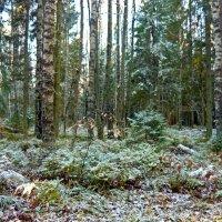 Лес в инее :: Вера Щукина