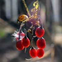 Волчья  ягода :: Геннадий С.