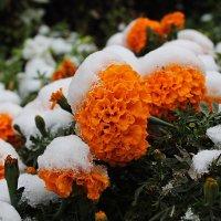 Первый снег :: Лариса Коломиец