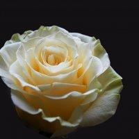 желтая роза :: Владимир