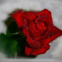 На розах, ярких, как огонь свечи......... :: Людмила Богданова (Скачко)