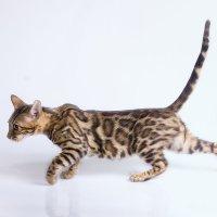 Кошка :: Елена Волгина
