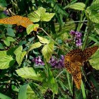 Бабочки :: Людмила (Руца)