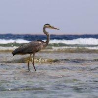 Этот птиц тоже, потомок фараонов (Египетская цапля) :: галина северинова