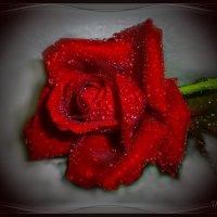 С влажной розы ты, сбросив стыдливый покров, принесла мне сумятицу в виде даров. :: Людмила Богданова (Скачко)