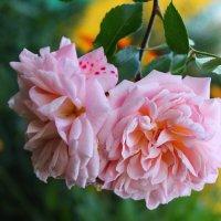 розы :: анастасия артемьева