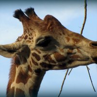 Жирафа :: Сергей Карачин