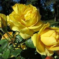 Как прекрасны розы.... :: Валентина Жукова