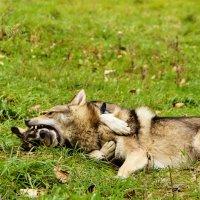 любовь собачья :: Tatyana Belova
