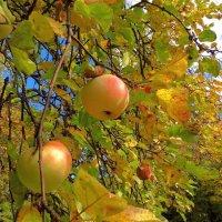 Последние яблочки :: Светлана Лысенко