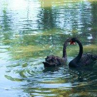 черные лебеди :: анна к