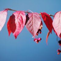 Осенний бересклет :: Swetlana V