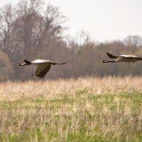 Серый журавль на бреющем полете 2 :: Виталий Латышонок