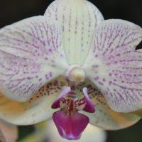 Орхидея 2 :: Алексей Сухоруков