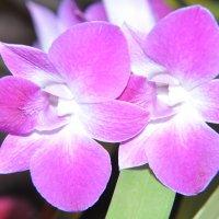Орхидея 1 :: Алексей Сухоруков