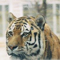 Тигра в клетке :: Agnivarshi Малтыз