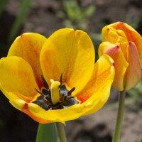 Тюльпан :: Stan Ezersky