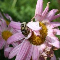 Пчела в Сибири :: Петелин Андрей