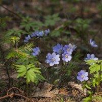 В лесу весной..... :: Александр Манько