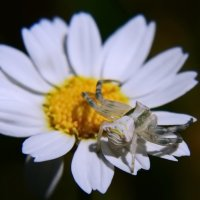 Паук-бокоход,крабовый паук. :: Александр Лонский