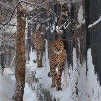 Новосибирский зоопарк.Гепарды. :: Светлана Винокурова