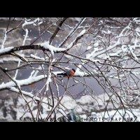 снегирь :: Ярослав Макеев