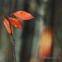 Последние листья.Краски осени. :: Сергей Калиновский