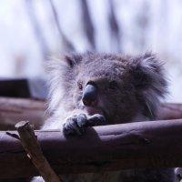 коала :: piter rub