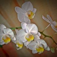 Орхидея :: Сергей КА