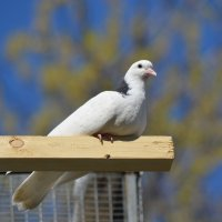 Белый голубь :: Евгеша Живчик