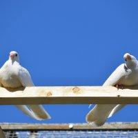 Два голубка флиртуют) :: Евгеша Живчик