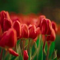 Тюльпаны :: Alla Kravchuk