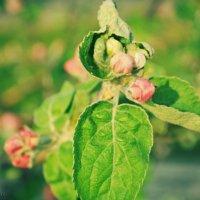 Когда яблони цветут :: Екатерина Николайчук
