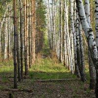 Стройными рядами. :: Сергей Исаенко