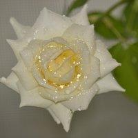 Домашняя роза :: Дмитрий Яшин