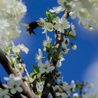 Цветущая весна :: Павел Данилевский