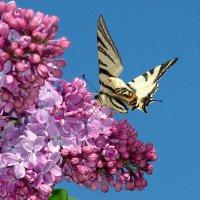 Бабочка проснулась, солнцу улыбнулась, села на цветок выпить сладкий сок.. :: Нилла Шарафан