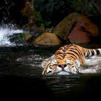 я большая большая рыба тигра)) :: текила *