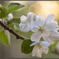 яблоня цветет :: Елена Каспар