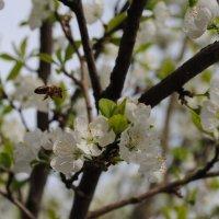 Пчела-трудяга :: Дарья Лихтар